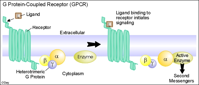 essays in g protein coupled receptors Vertebrate bitter taste receptors: keys for survival in changing environments g protein-coupled receptors view.